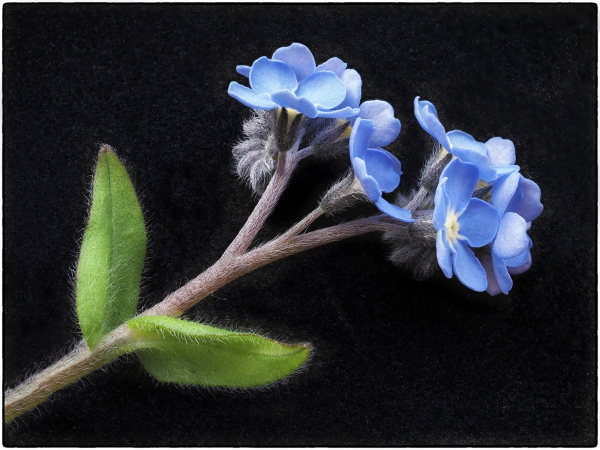 Forget Me Not No 3