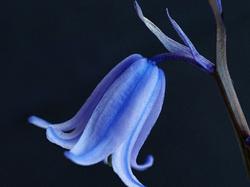 A Blue Bell