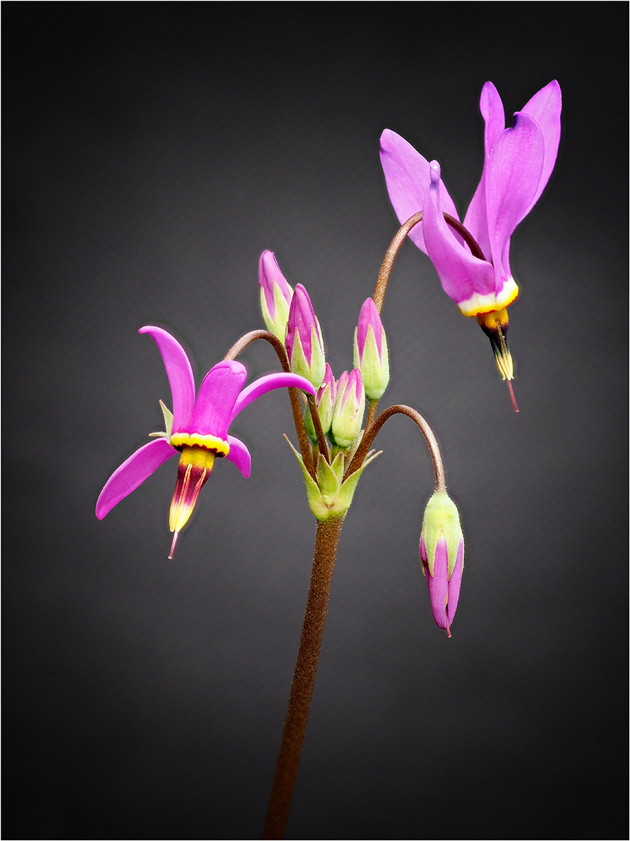 American Cowslip (Dodecatheon)