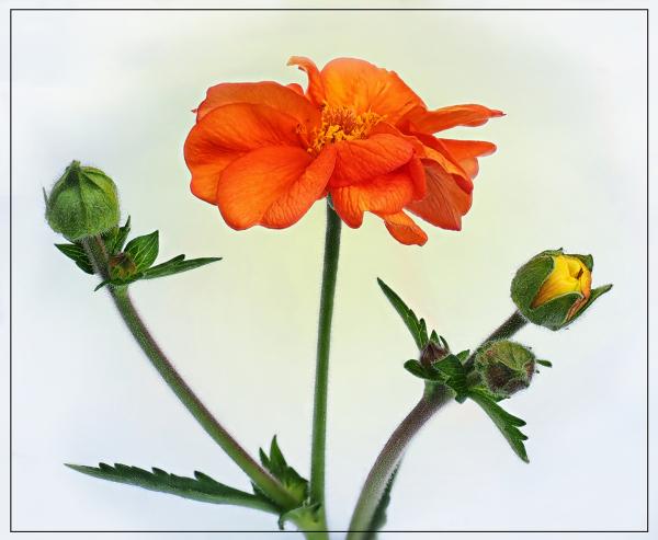 Orange Geum