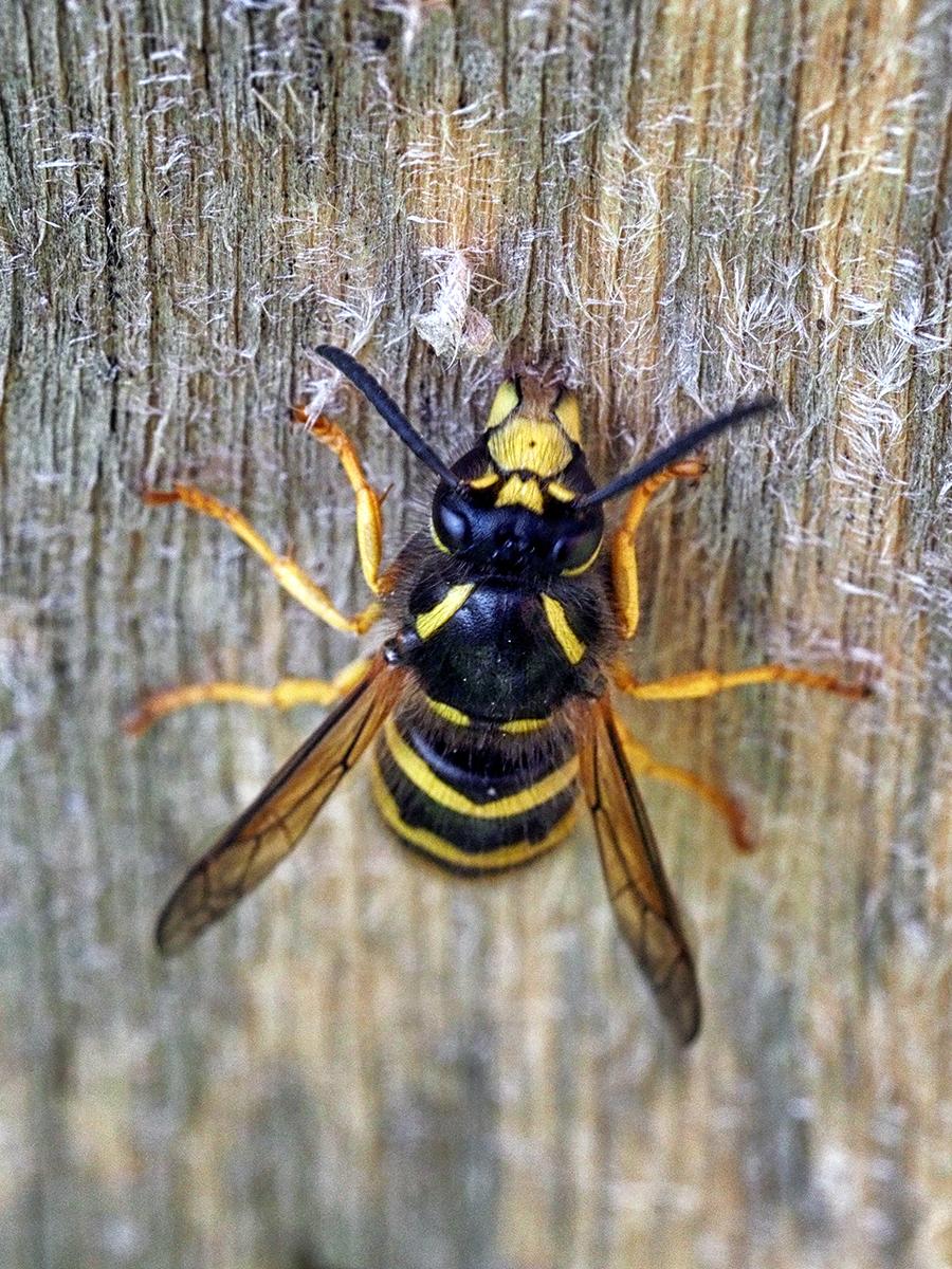 Wasp Collecting Woodpulp