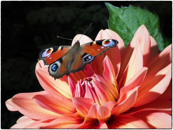 Peacock on Dahlia