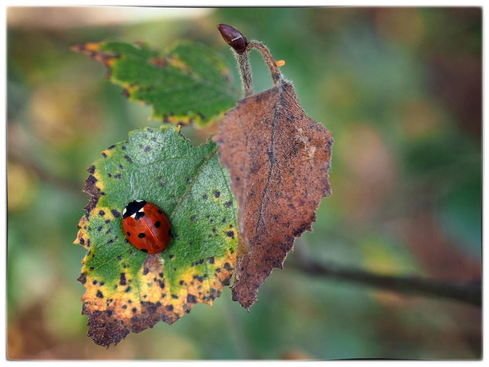 Ladybird and Leaf