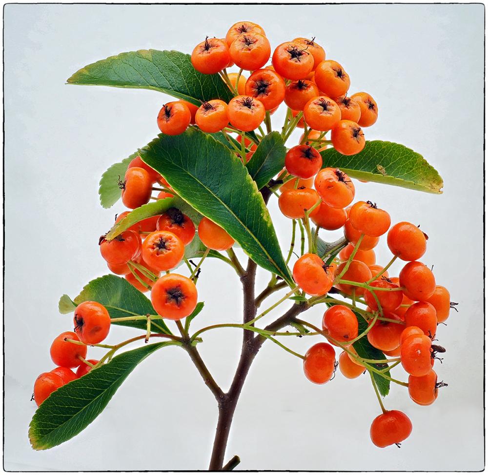 October Berries