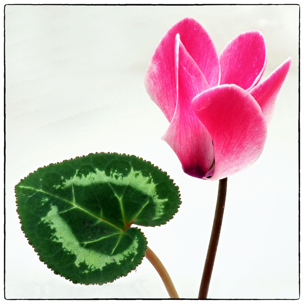 Cyclamen and Leaf