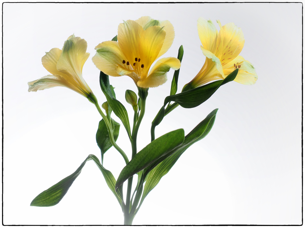 Alstroemeria ( Lily of the Incas)