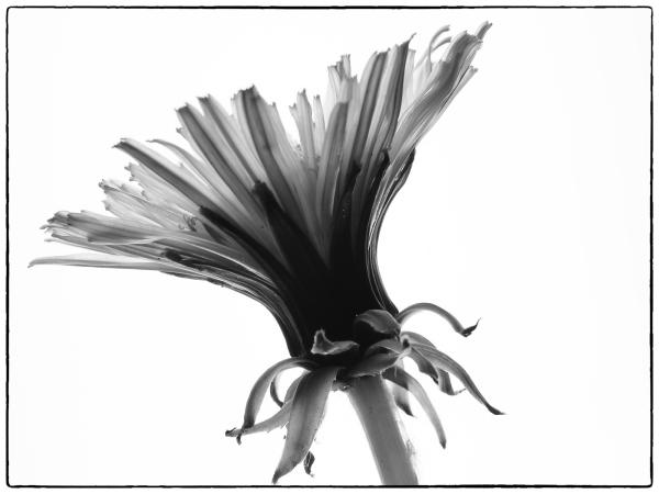 Dandelion in Mono