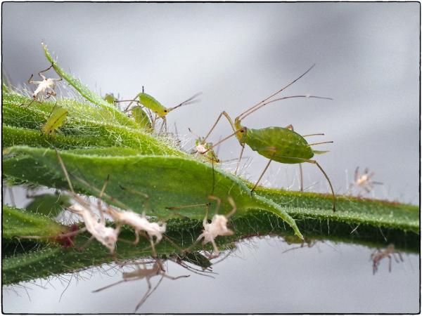 Greenfly Graveyard