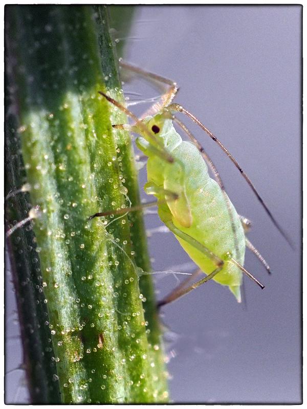 Feeding Greenfly