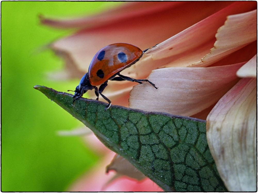 Agile Ladybird