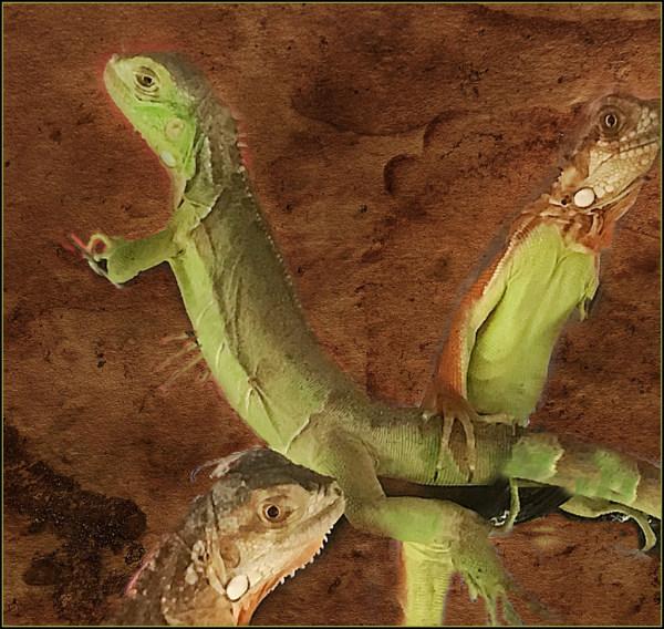 Iguana in Tank