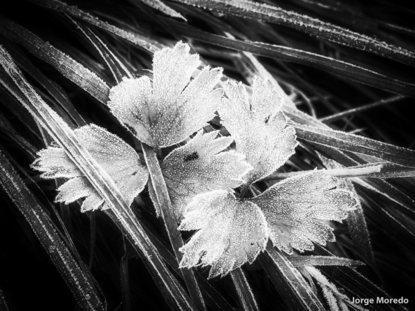 frozen plant in Black and white
