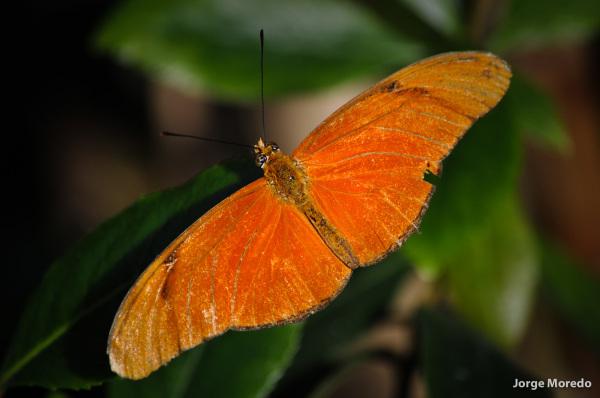 Oranje vlinder