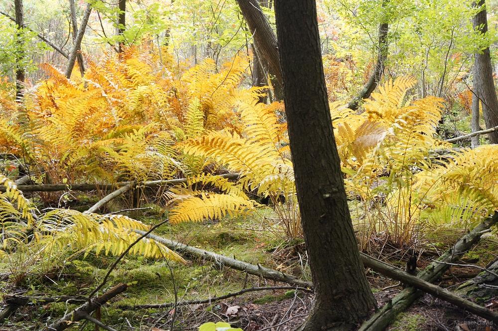 Algonquin Ferns, Ontario