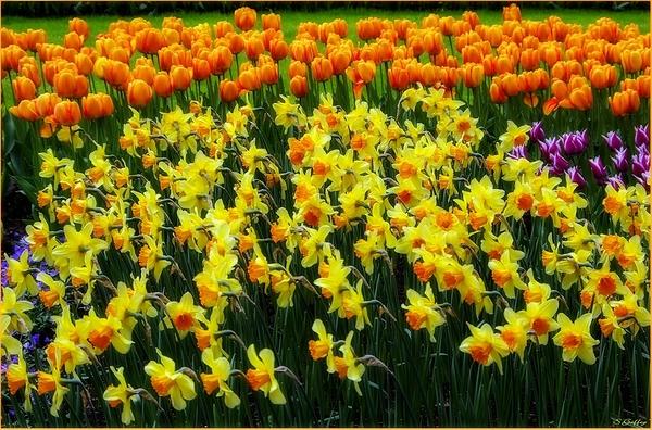 Daffodil's & Tulip's