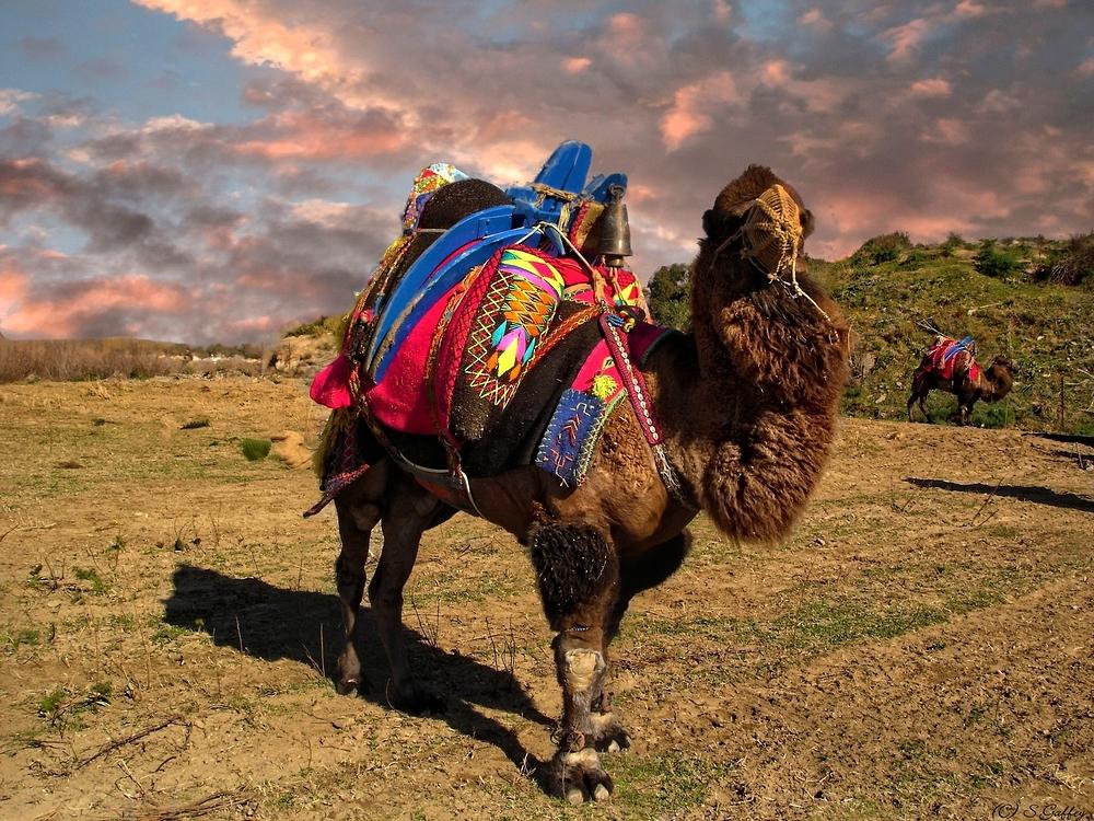 Camel.  Izmir, Turkey.