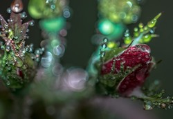 Apex Rose