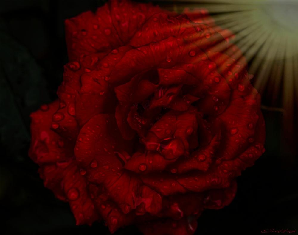 Rose & Raindrops.