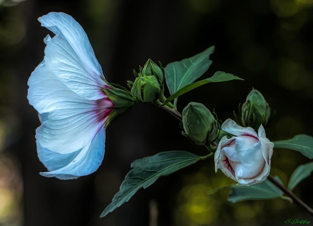 Rose of Sharon.