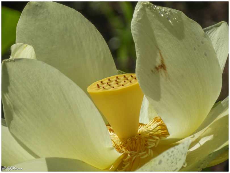 American lotus close up