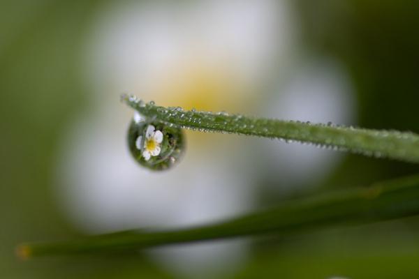 reflet d'une  fleur dans une goutte d'eau