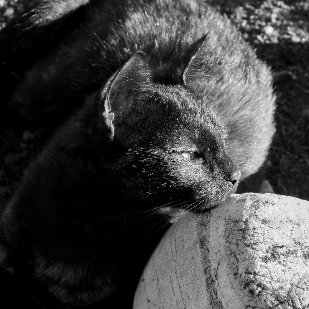 gros plan d'un chat en noir et blanc