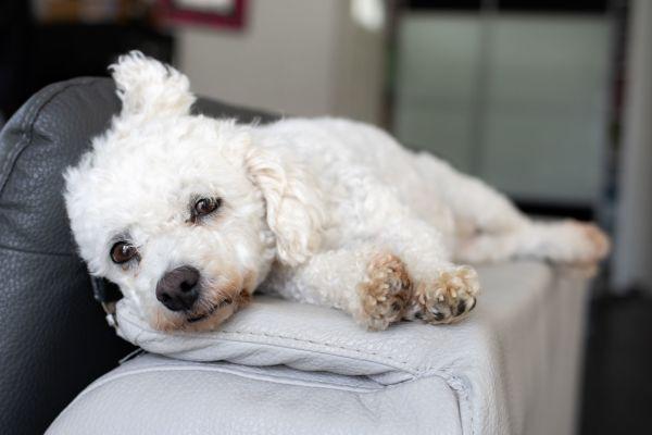 un chien qui s'endort
