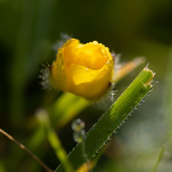 un bouton d'or au milieu de la rosée