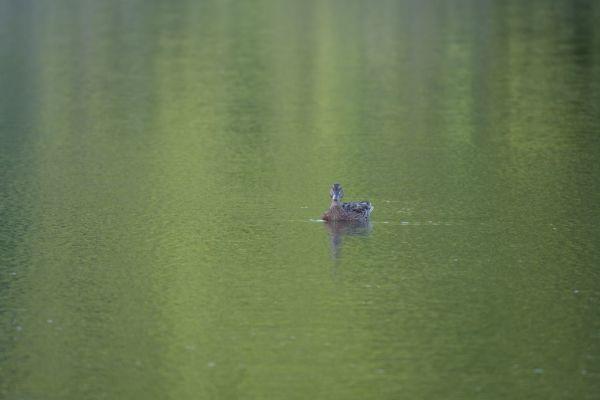 un canard seul au milieu d'un lac