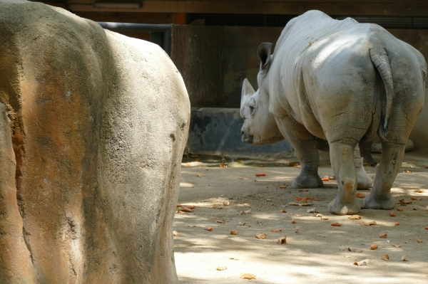 être dur comme un rhinocéros...