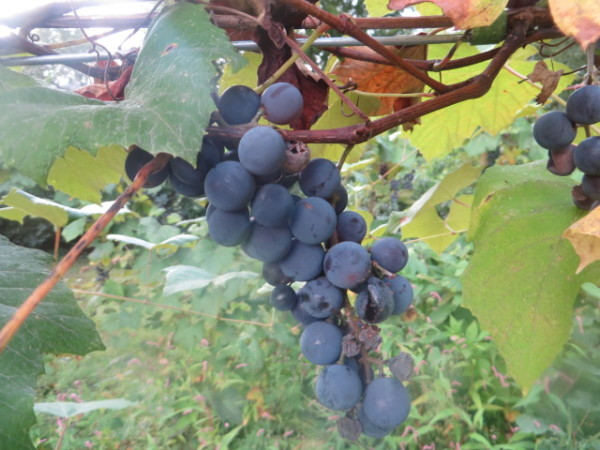 Some grapes in my backyard