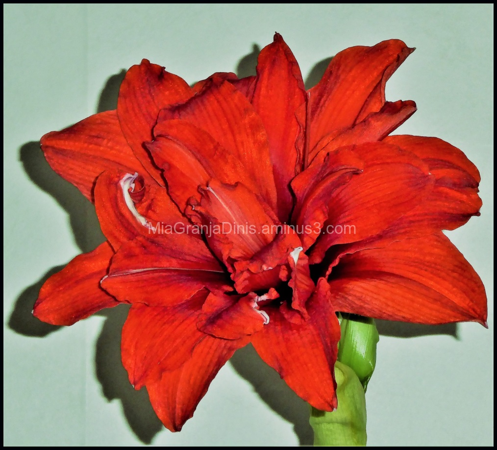 Amaryllis to Christmas