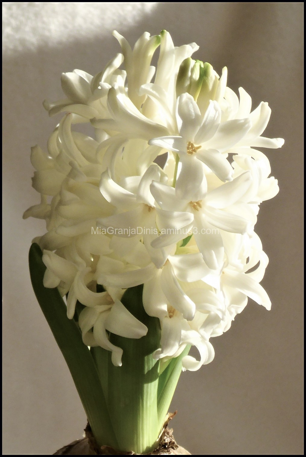 Scented hyacinth for Christmas