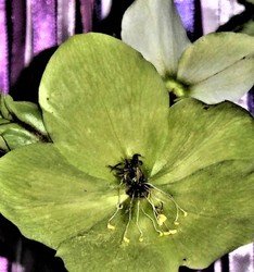 Christmas Rose ' The Winter's Flowering Miracle