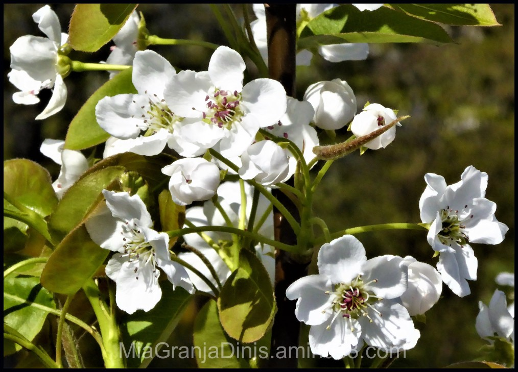 Flowering Pear Tree