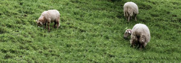 ovejas pastando
