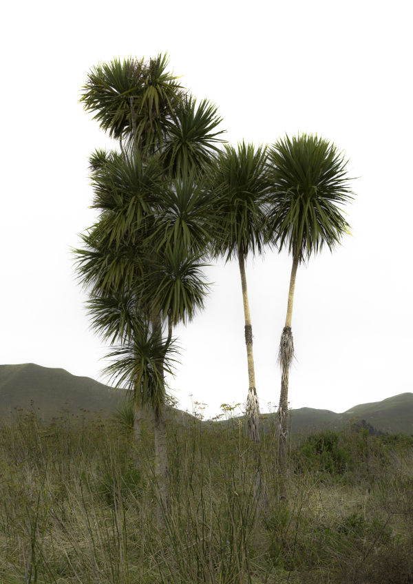 Small group of cabbage trees at Gisborne
