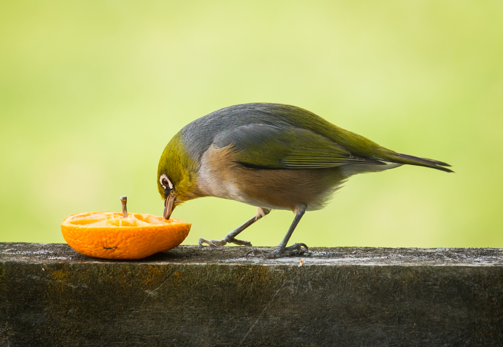 A Silvereye enjoys some orange