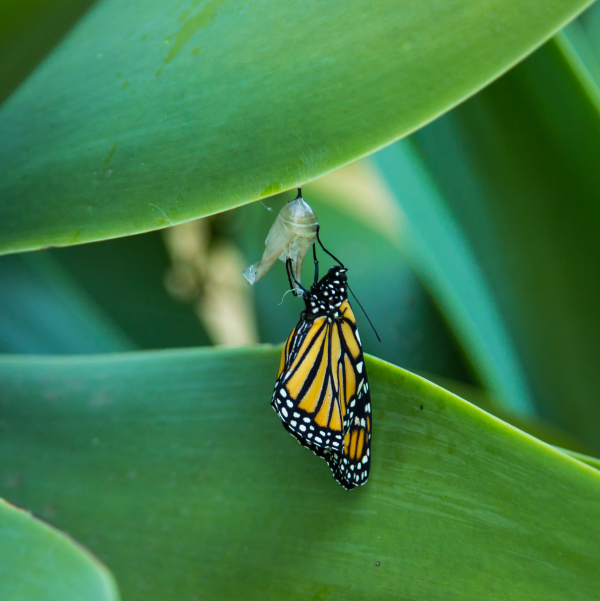 A Monarch emerges
