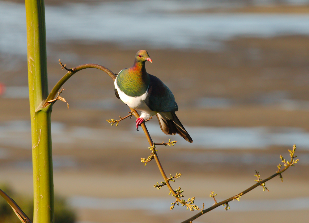 Kereru on the Agave stalk