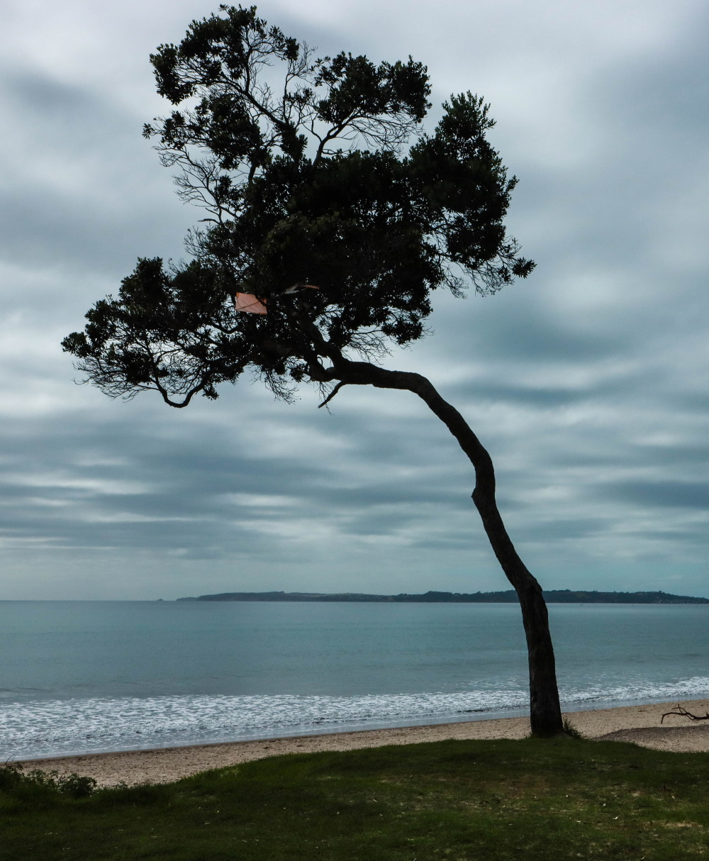 Orewa tree