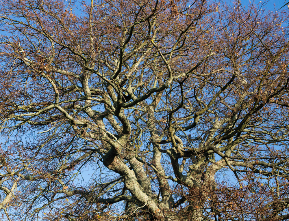 A tangle of oak tree branches