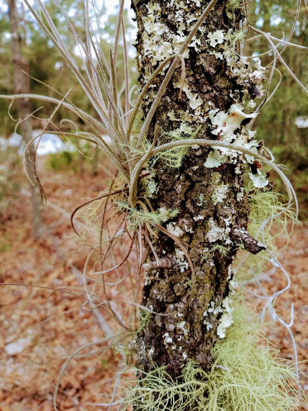 air plant on tree with lichen