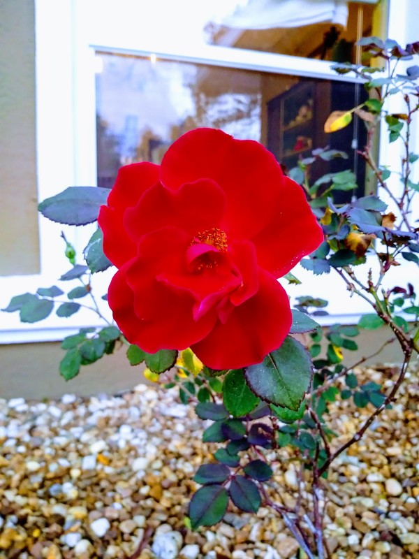 bright red rose in my rock garden