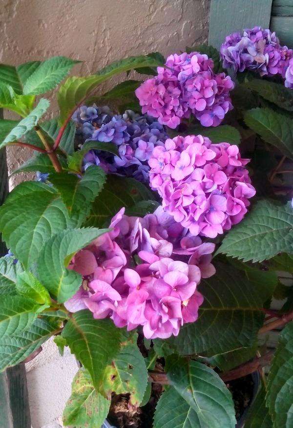 pink purple hydrangea flower