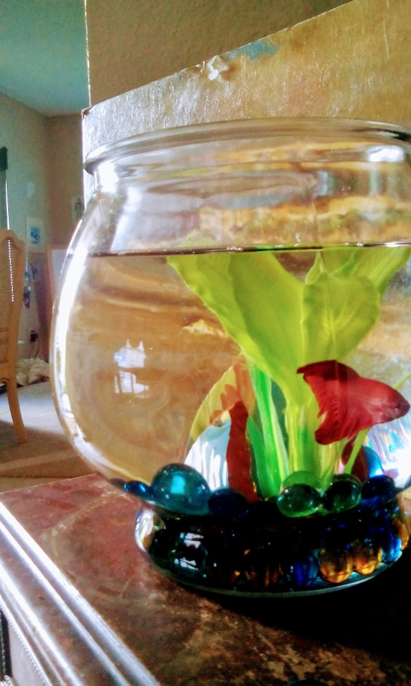 red betta fish fishbowl