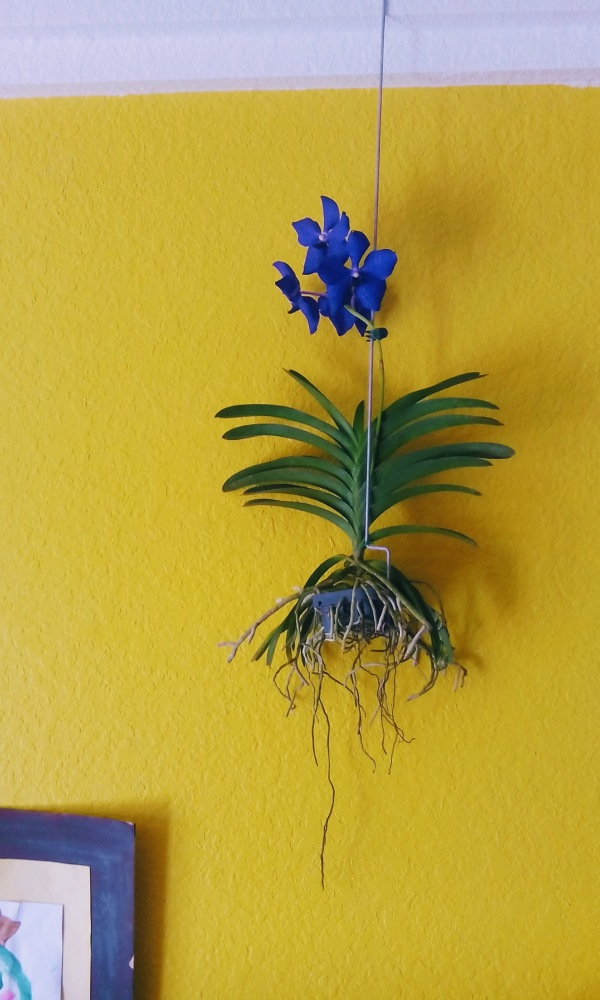 blue orchid yellow wall