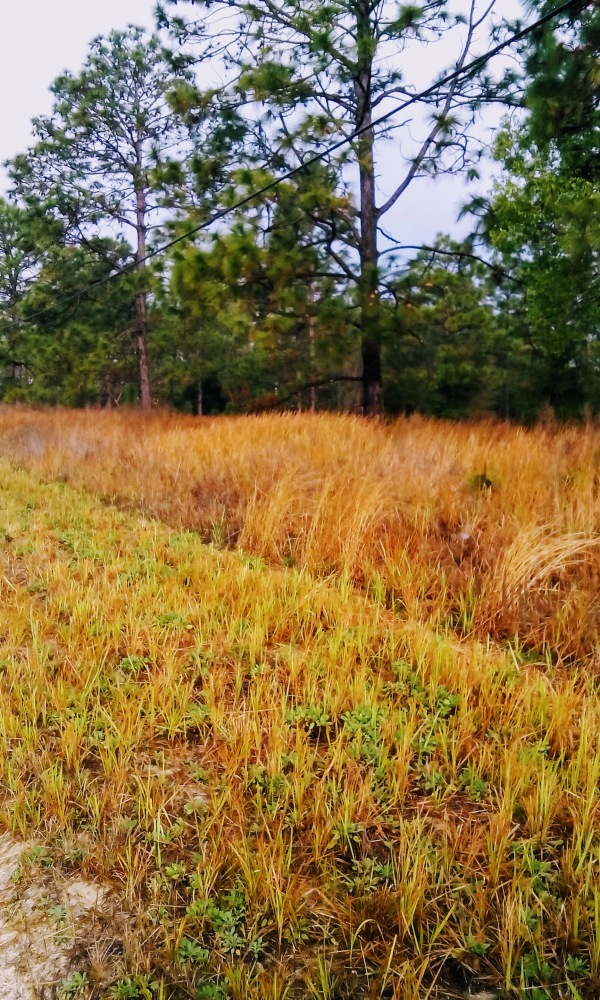 tall yellow grass