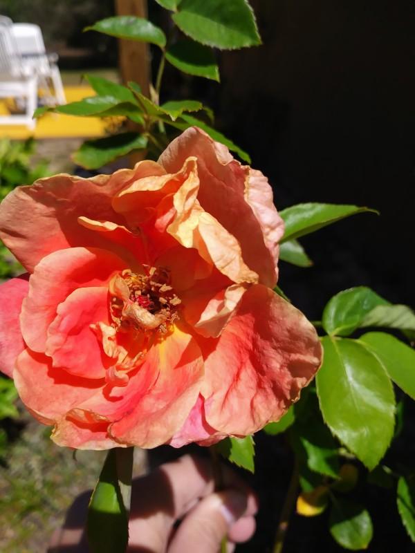 mojave desert rose