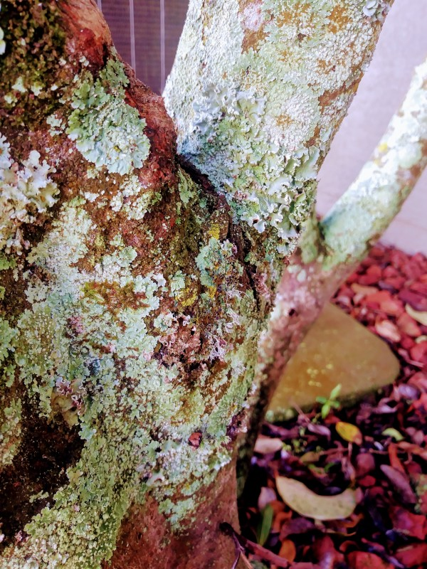 lichen on tree with red mulch